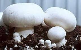 мицелий шампиньона вешенки грибние блоки шампінйона печериць