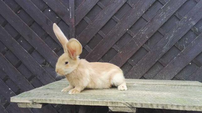 Królik, króliki belgijski olbrzym żółty i szynszylowy