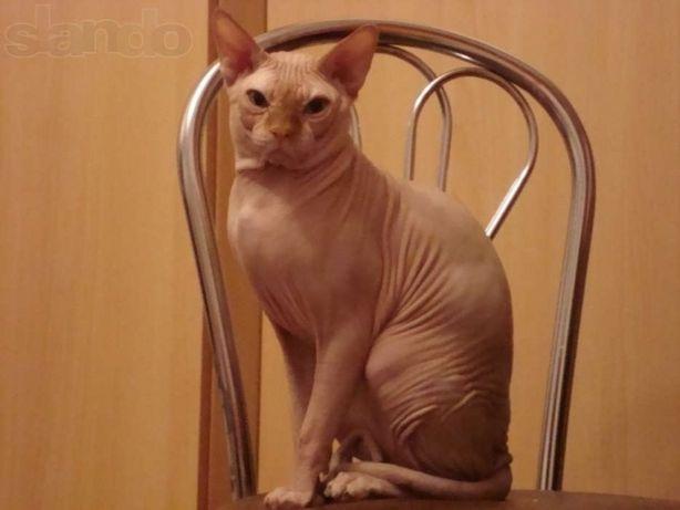 Вязка кот канадский сфинкс(SPH d 09). Кандидат в гранд-интер чемпионы