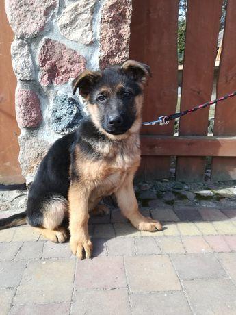 Owczarek niemiecki krótkowłosy pies z rodowodem Zkwp FCI