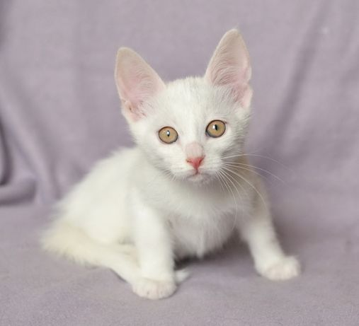 Біле кошеня, маленький котик Бєлкін, 1.5 міс в сім'ю, в добрі руки