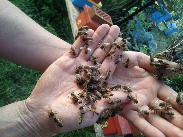 Matki pszczele Buckfast GZ unasiennione naturalnie. Wysyłka 27 28 29