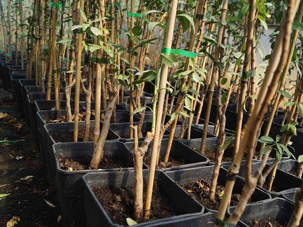 Amendoeiras para plantar