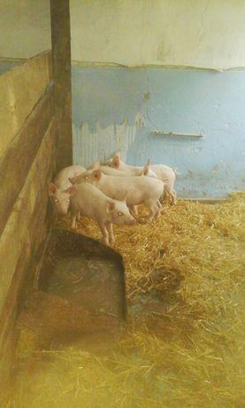 Свиньи живым весом , поросята, под заказ полутуши