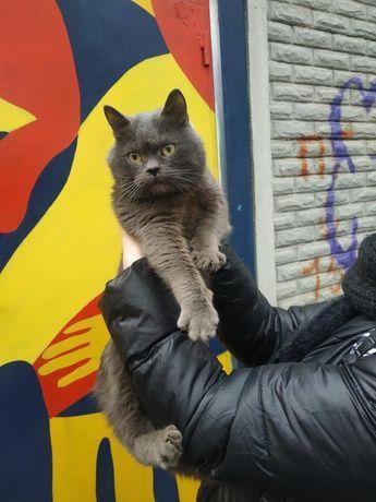 Найден кот британец ,ул Мироносицкая ,ул Каразина