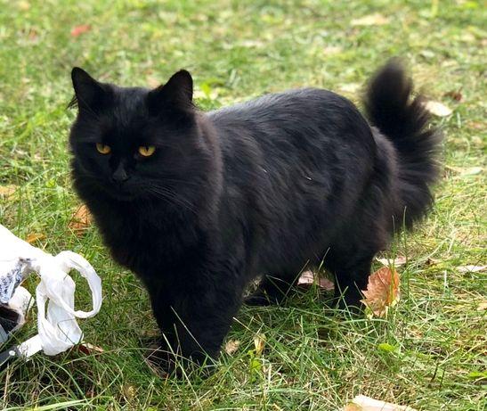 Сибирский кот на вязку