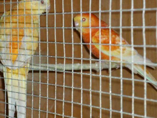 Певчий попугай Оранж