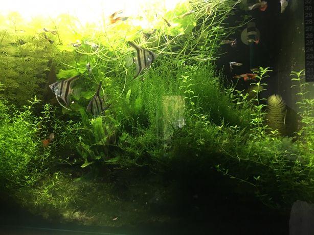 Rośliny do akwarium zamienię na rybki