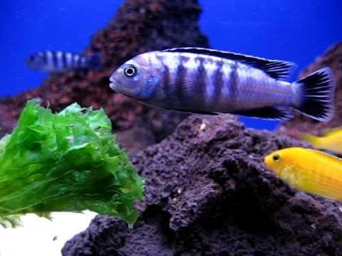 Pyszczak Melanochromis johani paskowa elblag Elbląg - image 1