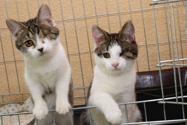 Два чудесных котёночка Макс и Пелагея (около 4-х месяцев) ласковые
