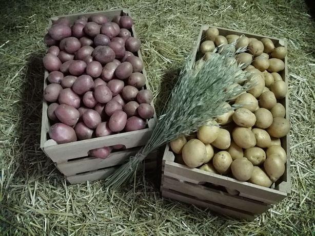 Картошка Голландская