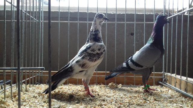 gołębie ozdobne wiedeńskie wysokolotne siwy samiec i samica