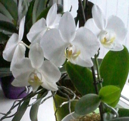 Орхидеи фаленопсис детки