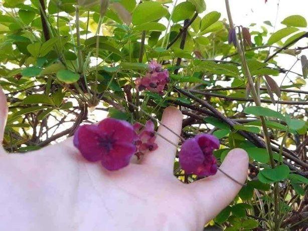 Akebia quinata -