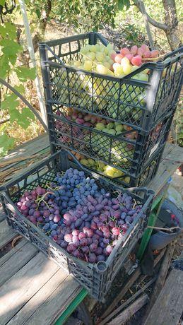 Саженцы винограда, еживики, малины