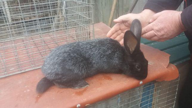 кролики полтавці 2-3міс парувального віку 4-6 міс спаровані 6-7 місяці