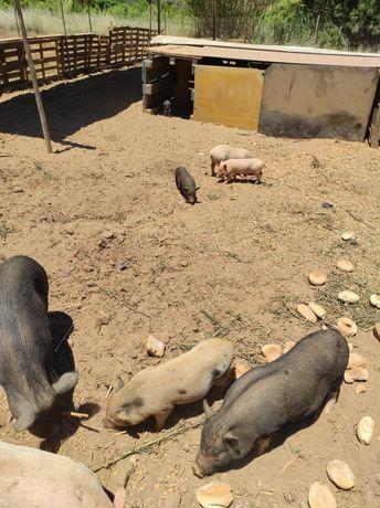 Porcos de raça mini pig