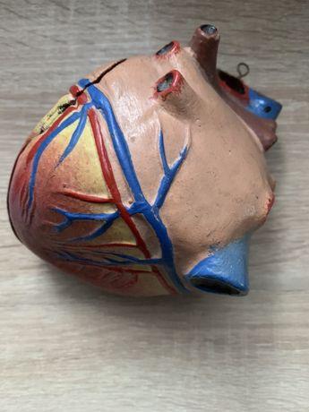 Наглядное пособие по анатомии. Сердце