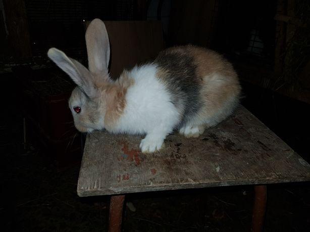 Молодняк кролів