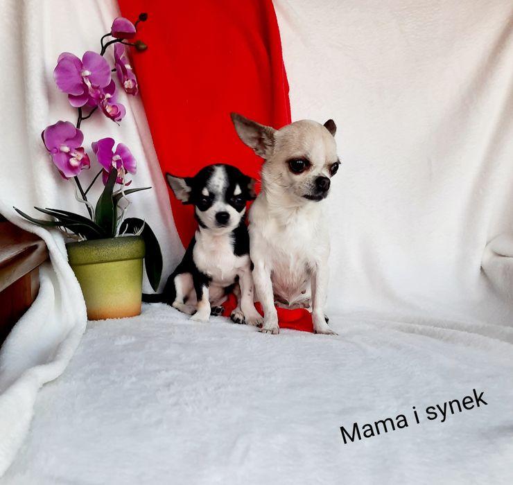 Chihuahua Piesek XS Rodowód. Szczucin - image 1
