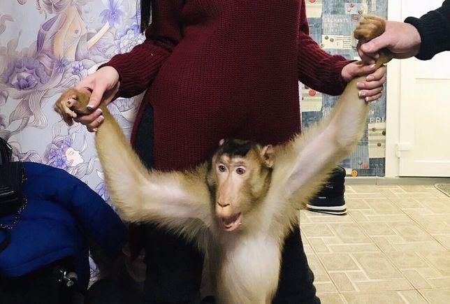 Макака Лапундель Самец