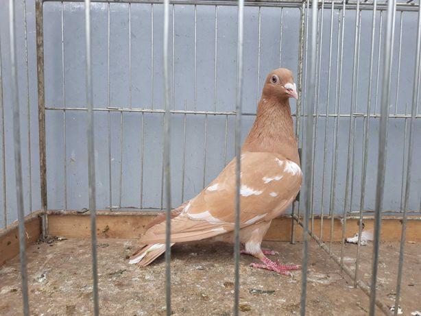 Mulemansy żółte mulemans żółty samica gołąb gołębie