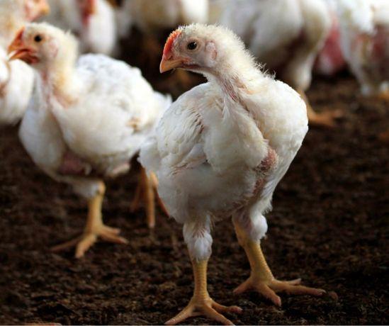 Цыпленок бройлера подрощенный породы РОСС 308