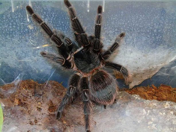 Lasiodora parahybana самка паука птицееда для новичков