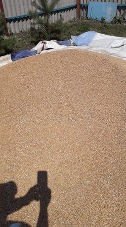Продам пшеницу 1 тонна