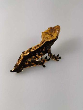 Correlophus ciliatus Gekon orzęsiony H38