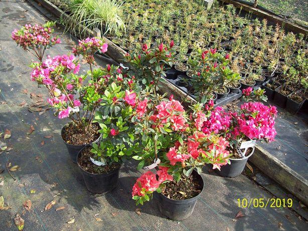 Azalia ,Hortensja ,Rododendron,Piwonia, 40-60 cm