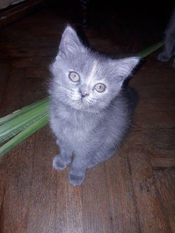 Кішка британська