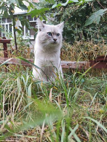 Отдам тайского голубоглазого кота, 2 года