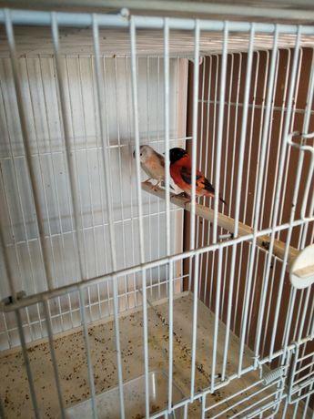 Cardinalitos Venuzuela