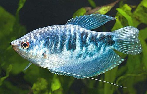 Gurami marmurkowe/rybki akwariowe/ryby/ryba
