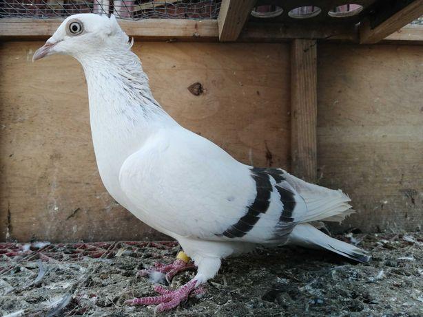 Sprzedam gołębia