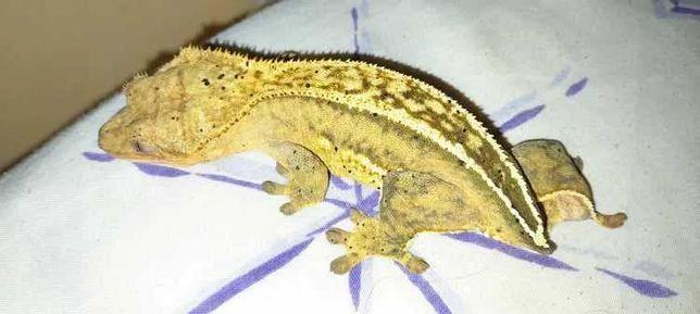 Gekon orzęsiony Samica (Możliwość wymiany na inną samicę)