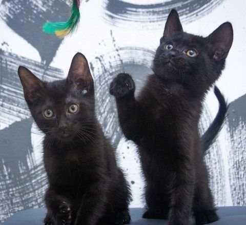Черные котята в хорошие руки,2 мес.