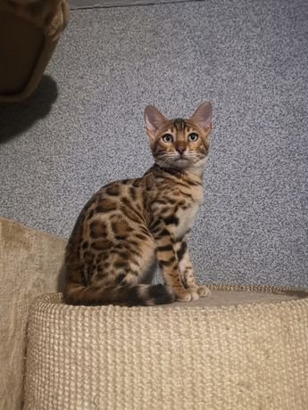 Kocięta bengalskie bengal bengale kotki kocurki TICA RODOWÓD