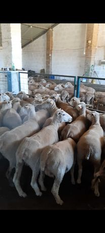Vendo 100 ovelhas ou troco por vacas