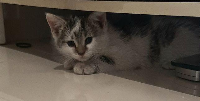 Kotek z dłuższą sierścią szuka domu nie rasowy