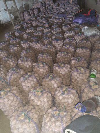 Картопля Модейра і Белла Росса насінева і харчова