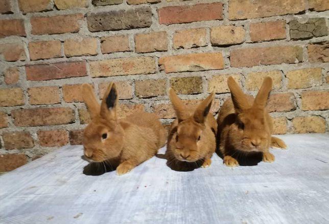 Sprzedam młode króliki NOWO ZELANDY