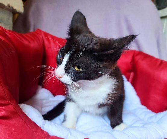 Милая кроха Феличита! 3 месяца (кот, кошка)