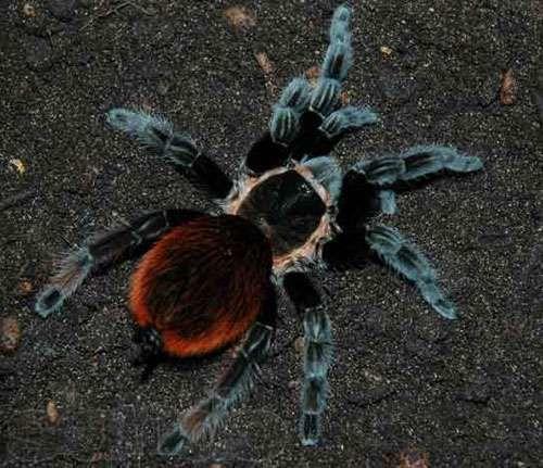 брахипельма ваганс brachypelma vagans паук птицеед новичку павук