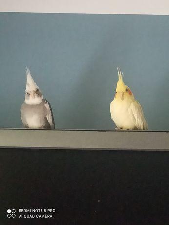 Sprzedam papużki nimfy