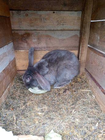 Sprzedam króliki samce rasy baran francuski