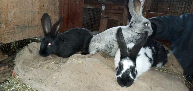 Кролики породисті