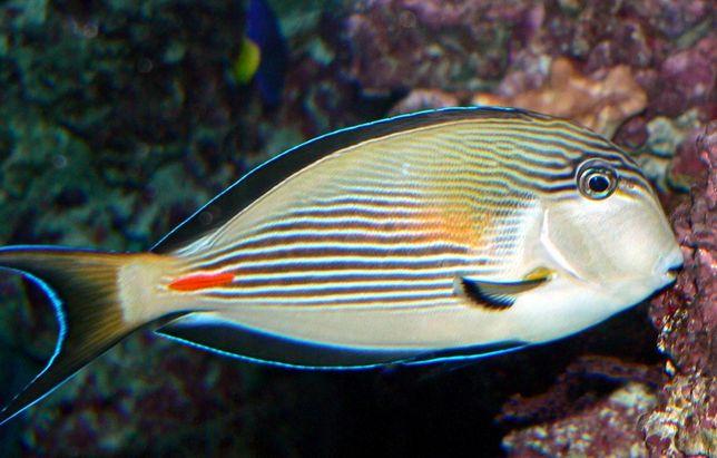 Akwarium morskie - Acanthurus sohal