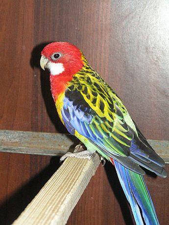 Красный папугай Розелла